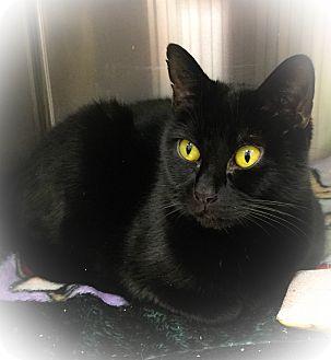 Domestic Shorthair Cat for adoption in Webster, Massachusetts - Rye-Rye