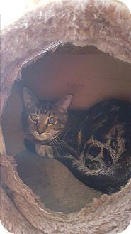 Domestic Shorthair Kitten for adoption in Salem, Ohio - Luke