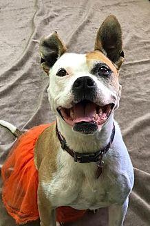 Boxer/American Pit Bull Terrier Mix Dog for adoption in Philadelphia, Pennsylvania - Kelis