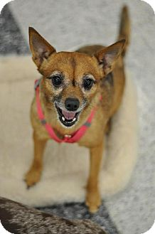 Manchester Terrier/Chihuahua Mix Dog for adoption in Tacoma, Washington - Lolly