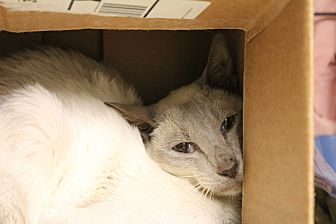 Siamese Cat for adoption in Warwick, Rhode Island - Song