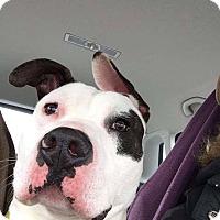 Adopt A Pet :: ROY - Linden, NJ