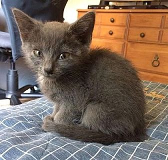 Domestic Shorthair/Domestic Shorthair Mix Kitten for adoption in Columbia, South Carolina - Sid