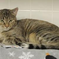 Domestic Shorthair/Domestic Shorthair Mix Cat for adoption in Westville, Indiana - Raisin