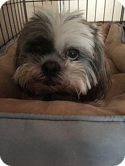 Shih Tzu Dog for adoption in Reno, Nevada - Rory
