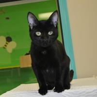 Adopt A Pet :: Ash - Suwanee, GA