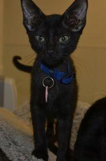 Domestic Shorthair/Domestic Shorthair Mix Cat for adoption in Edinburg, Texas - Keanu