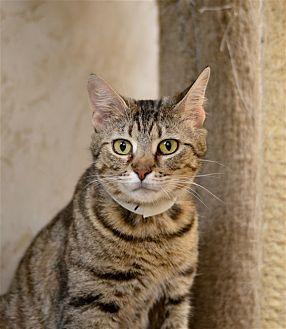 Domestic Shorthair Cat for adoption in Delaware, Ohio - Lovie