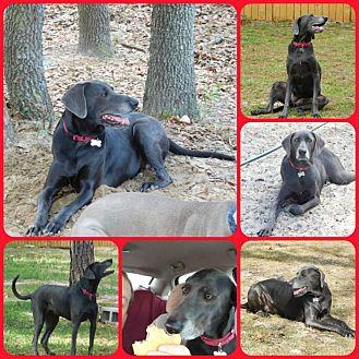 Weimaraner/Labrador Retriever Mix Dog for adoption in Inverness, Florida - Raven
