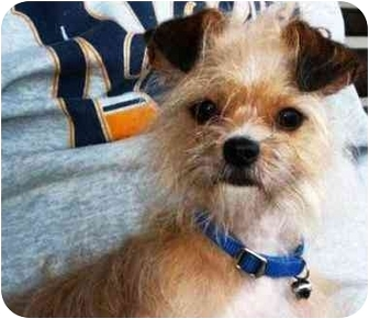 Yorkie, Yorkshire Terrier/Brussels Griffon Mix Dog for adoption in Osseo, Minnesota - Bella