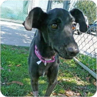 Whippet Mix Dog for adoption in San Clemente, California - NINA