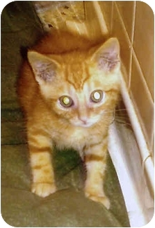 Domestic Shorthair Kitten for adoption in Owatonna, Minnesota - Savana