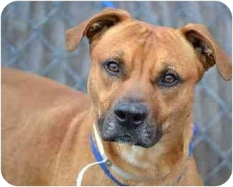 Boxer/Shepherd (Unknown Type) Mix Dog for adoption in Medford, Massachusetts - Boxer Mix
