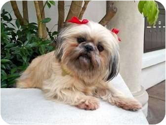 Lhasa Apso/Shih Tzu Mix Dog for adoption in Los Angeles, California - REENIE