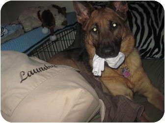 German Shepherd Dog Dog for adoption in Green Cove Springs, Florida - Jozey