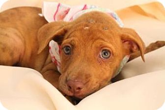 Boxer/American Staffordshire Terrier Mix Puppy for adoption in East Rockaway, New York - Jasmine