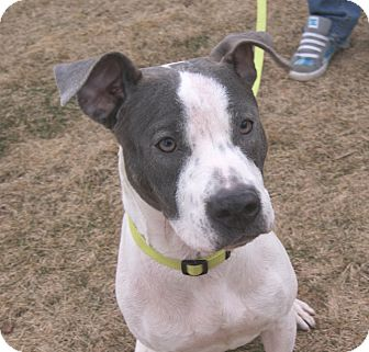 Pit Bull Terrier Mix Dog for adoption in Chicago, Illinois - Delaine
