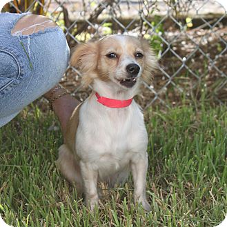 Pomeranian Mix Dog for adoption in Loxahatchee, Florida - CHICA