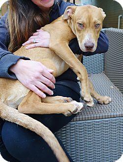 Retriever (Unknown Type)/Hound (Unknown Type) Mix Puppy for adoption in Reisterstown, Maryland - Starla