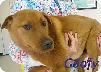 Shepherd (Unknown Type)/Labrador Retriever Mix Puppy for adoption in Henderson, North Carolina - GOOFY