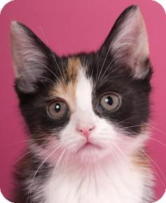 Calico Kitten for adoption in Chicago, Illinois - Fanny