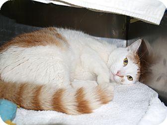 Domestic Shorthair Cat for adoption in El Cajon, California - Mickey
