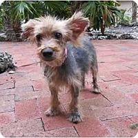 Adopt A Pet :: Violet - Fairfax, VA