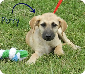German Shepherd Dog Mix Puppy for adoption in Lawrenceburg, Tennessee - Perry
