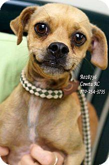 Chihuahua Mix Dog for adoption in Newnan City, Georgia - Nathan