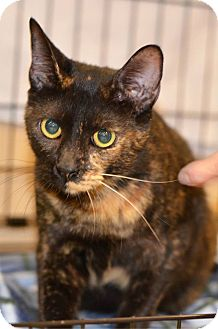 Domestic Shorthair Cat for adoption in Daytona Beach, Florida - Newbe