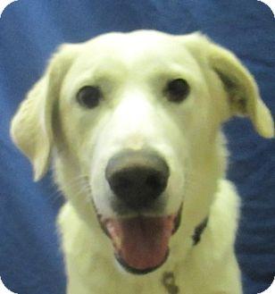 Great Pyrenees/Labrador Retriever Mix Dog for adoption in Lloydminster, Alberta - Elvis
