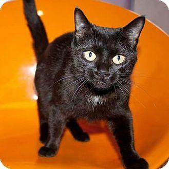 Domestic Shorthair Cat for adoption in Ann Arbor, Michigan - Etta James