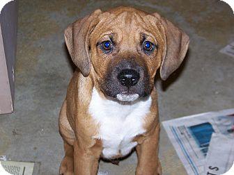 Hound (Unknown Type) Mix Puppy for adoption in Homer, New York - Gus
