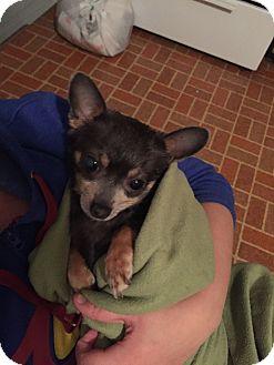 Chihuahua Mix Dog for adoption in Warren, Michigan - Blue Boy