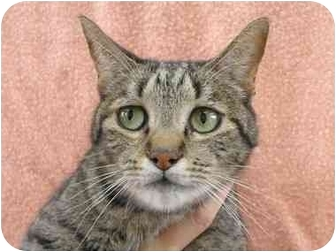 Domestic Shorthair Cat for adoption in San Diego, California - Jones