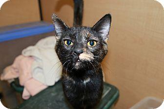Domestic Shorthair Cat for adoption in Rochester, Minnesota - Duchess