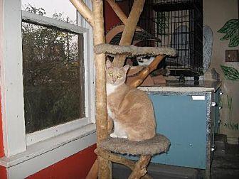 Domestic Shorthair Cat for adoption in Coos Bay, Oregon - Fargo