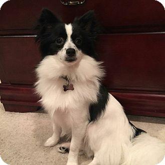 Pomeranian/Chihuahua Mix Dog for adoption in Kingwood, Texas - Thor
