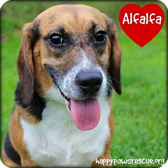 Beagle Dog for adoption in South Plainfield, New Jersey - Alfalfa