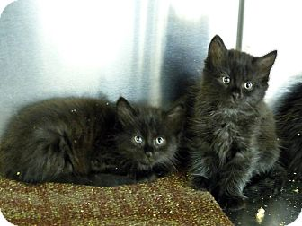 Domestic Shorthair Kitten for adoption in Monterey, Virginia - Freda