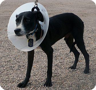 Whippet/Shepherd (Unknown Type) Mix Dog for adoption in Tucson, Arizona - Kermit