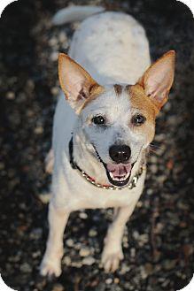 Feist/Jack Russell Terrier Mix Dog for adoption in Marietta, Georgia - Carol