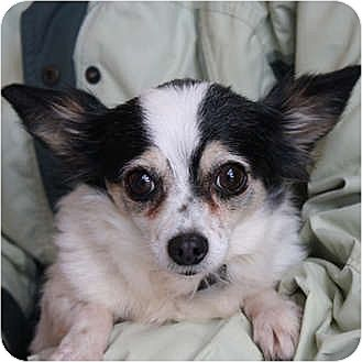 Chihuahua Mix Dog for adoption in Huntley, Illinois - Amy