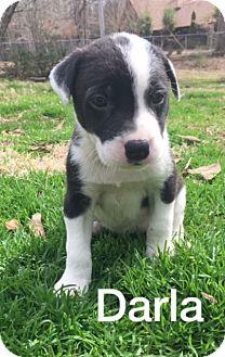 Border Collie/Labrador Retriever Mix Puppy for adoption in Olive Branch, Mississippi - Darla