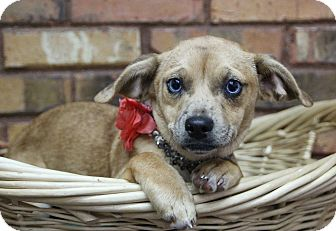 Terrier (Unknown Type, Small)/Mixed Breed (Small) Mix Puppy for adoption in Benbrook, Texas - Blue Eyes