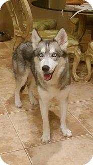 Siberian Husky Dog for adoption in Clearwater, Florida - Nikita