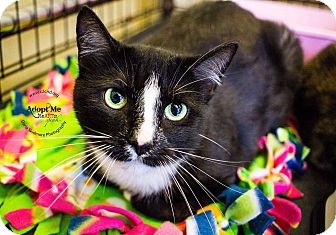 Domestic Shorthair Cat for adoption in Charlotte, North Carolina - A..  Jordan