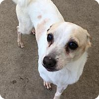 Chihuahua/Italian Greyhound Mix Dog for adoption in Chula Vista, California - Mr.Bean