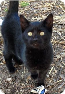 Bombay Kitten for adoption in Marlton, New Jersey - LUCKY