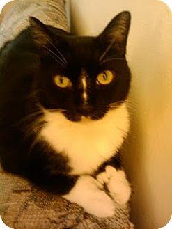 Domestic Shorthair Cat for adoption in Oviedo, Florida - Zeus
